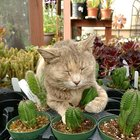 IL5JPtrwhpq3 hcX cjdtE2umx0tpDp9X4d7nueQTtM One of our nursery cats just loves napping with the succulents & cacti!