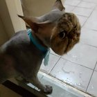 KMxy XZsL5ejYGHIiiVBlRbrvdOOfMvSnj5XBMzIoE This cat fully shaved... except for its face