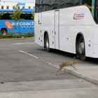 RJV3 siFMOFXa1hfGTbLLtqVwgAXIpmLbEkLzhXj9Es Breaking: Hare with fag in its mouth spotted waiting for bus at Dublin Airport.