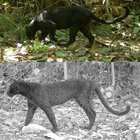 saYMFrCrXTXXJE5T6atxEOWNwPbyk2cokxXN8TBaQfk Black panthers spots which can only be seen using an infrared camera