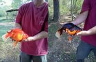 zRUwv2PH1WJ0YVc NH1r01QcF59D2He5Zbi 9nc9PNg So a few years ago my mom decided to surprise my dad by putting a couple of WalMart goldfish in his large pond. She forgot about them. He never saw them until he drained it for maintenance. Surprise!